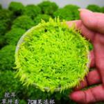 挖耳草怎么养?前景水草之挖耳草养殖护理详解 需要高光高CO2高液肥