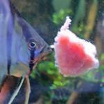 牛心汉堡喂燕鱼慈鲷鼠鱼实际评测 如何挑选好的牛心汉堡