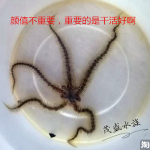清理活石好帮手-蛇海星