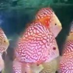七彩神仙鸽子鱼的生长周期全过程一览