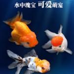 金鱼分类图鉴及饲养指南