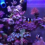 海缸从软体LPS进阶硬体珊瑚SPS的时机和方法