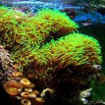 """海缸里的""""水草""""绿草皮珊瑚养殖介绍 LPS软体珊瑚系列"""
