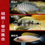 坦鲷卷贝类之钻石贝鱼的习性和饲养