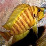 黄金珍珠虎-适合混养的坦湖喷虎鱼