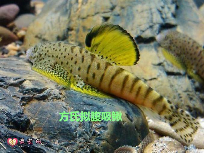 清理鱼缸的鱼种类_原生鱼之吸鳅的常见种类和饲养方法-最宠网