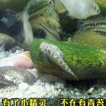 原生鱼之吸鳅的常见种类和饲养方法