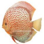 七彩神仙鱼各品种体质对比及渔场给玩家的饲养建议