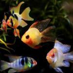 常见短鲷类热带鱼品种饲养方法 荷兰凤凰/凤球/迷你鹦鹉/玻利维亚凤凰