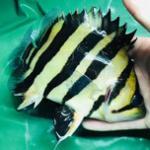 印尼虎鱼怎么变明虎?分类及饲养经验总结