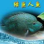 北中南美洲慈鲷鱼品种图鉴大全及饲养方法