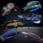 雷龙鱼繁殖教程及品种介绍