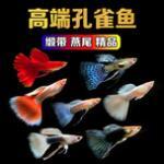 高端孔雀鱼品种大搜罗,有些品种好看也不是很贵