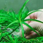 越南古精水草的原生态环境及自己养殖经验分享