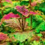 五彩薄荷水草的特点和养殖方法 水草知识系列